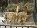 lamas du jardin des plantes