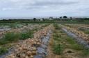Culture de l'oignon sur l'ile de Batz