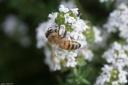 abeille sur une fleur du thym